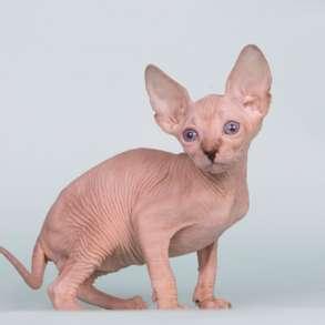 Экзотические котята-Эльф, бамбино и канадский сфинкс., в г.Бербанк