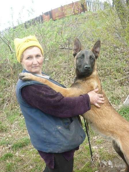 Бельгийская овчарка малинуа в Ачинске фото 6