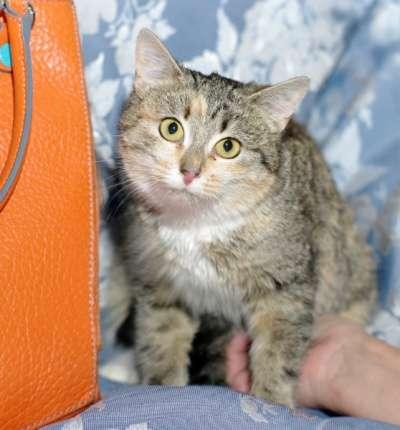 Отдам даром Трехцветный котенок Дусенька