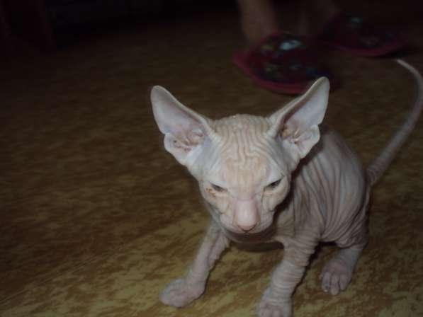 Котята донского сфинкса в Железногорске
