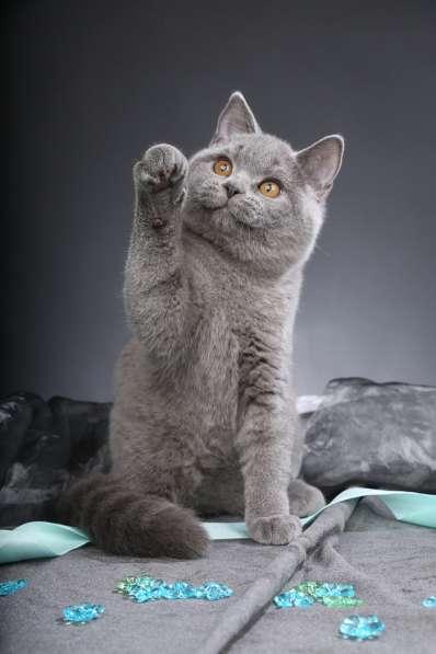 Чистокровные британские котята от Чемпиона Мира!