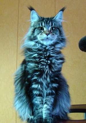 Продам котенка Мэйн Кун в Люберцы фото 4