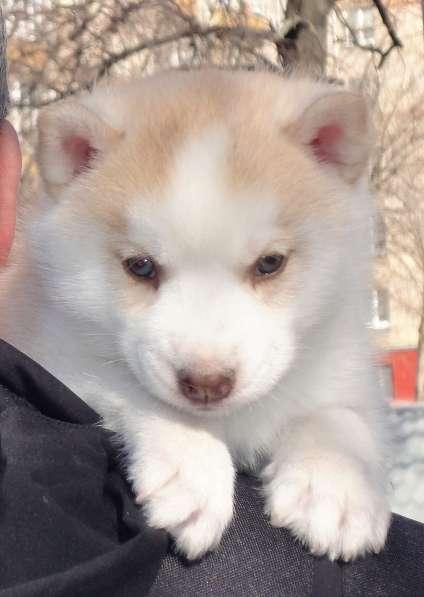 Палевая, Зеленоглазая, Красотка - щенок сиб/хаски