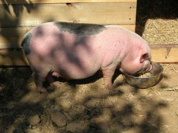 Роды вьетнамских вислобрюхих свиней
