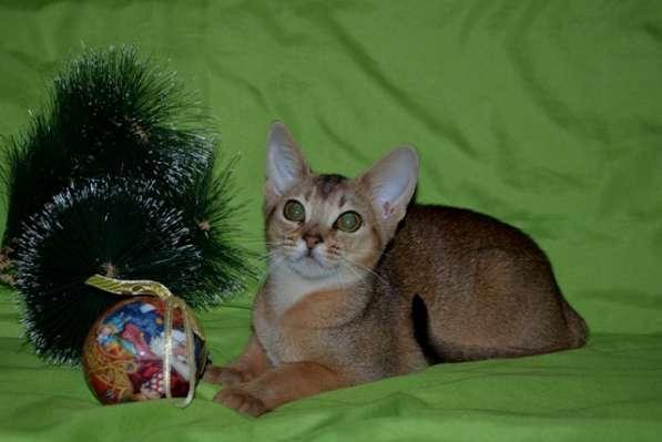 Породистые котята в Кисловодске фото 4