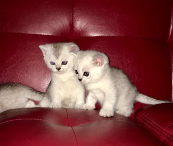 Шотландские котята серебристые шиншиллы в Екатеринбурге фото 7