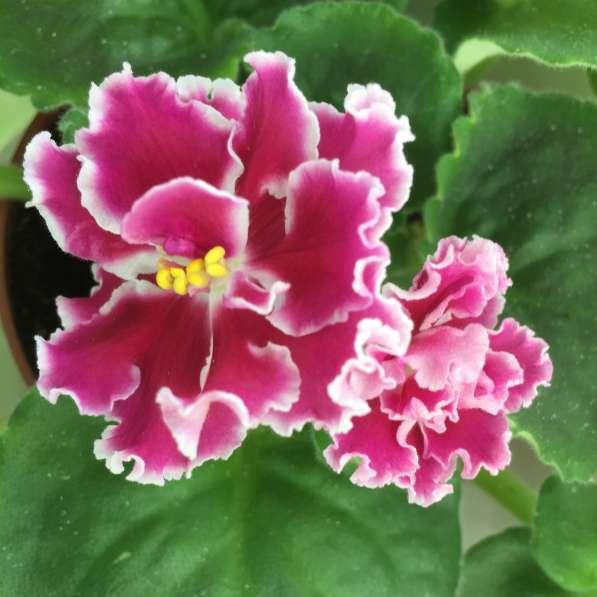 Детки фиалок и другие цветы