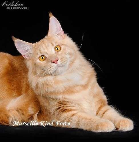 Очаровательный кремовый кот мейн-кун
