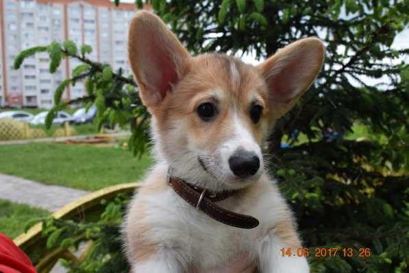 Вельш корги пемброк щенки в Смоленске фото 13