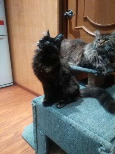 Котенок мейнкун (кошечка)