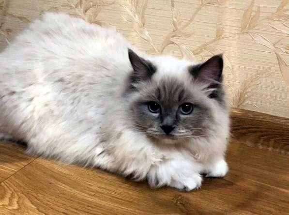 Котята породы Рэгдолл в Кургане фото 3