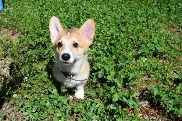 Вельш корги пемброк щенки в Смоленске фото 10