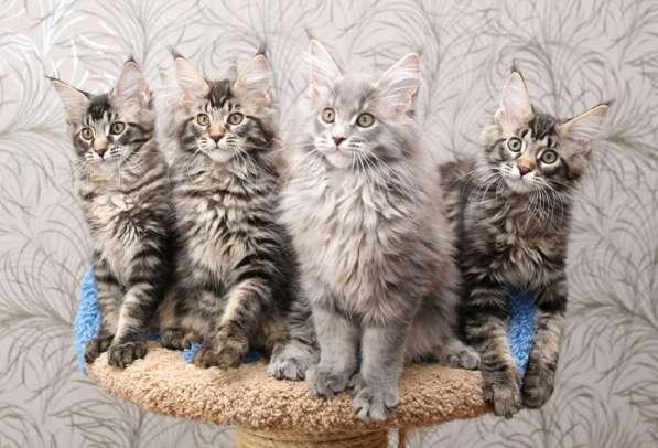 Черные мраморные кошечки мейн кун