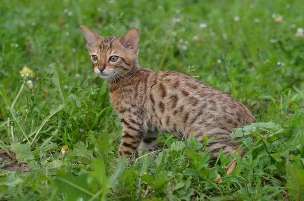 Бенгальсике котята в Нижнем Новгороде фото 5
