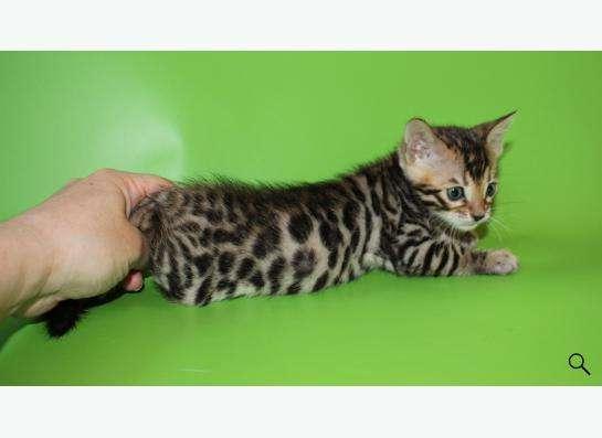 Элитные бенгальские котята в Уфе фото 4