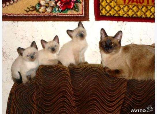 чистокровные тайские котята в Санкт-Петербурге
