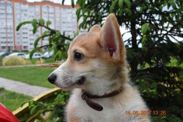 Вельш корги пемброк щенки в Смоленске фото 6