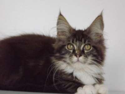 Котята мейн-кун - ласковые гиганты.