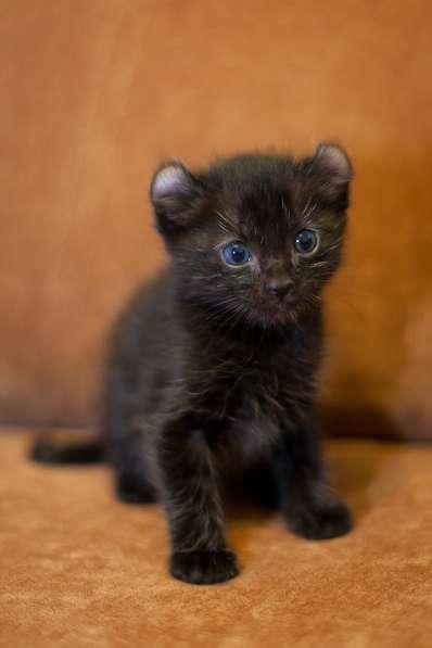 Американский керл котята