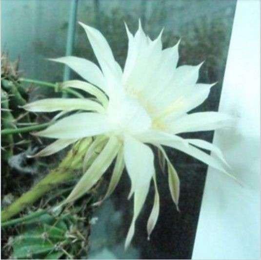 Поделюсь цветущими кактусами