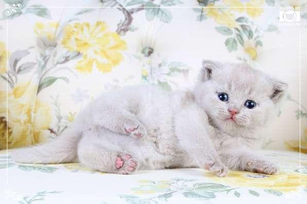 Британские котята фавн и лиловые в Москве фото 3