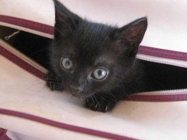 Продается котенок бомбейской породы