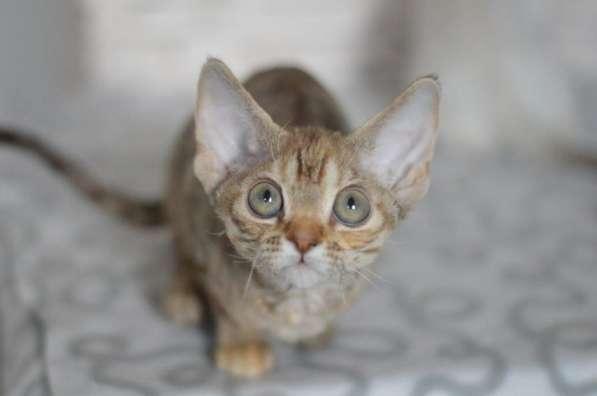 Ишу котят девон рекс в нижевартовске куплю!!!