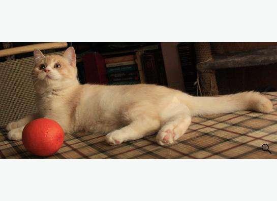 Продаётся котик скоттиш страйт редкого окраса!