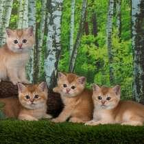 Британские котята элитных окрасов, в Санкт-Петербурге
