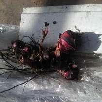 Продам корневые луковицы цветка -каны, в г.Рубежное