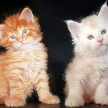 Котята Мейн-Кун Красные и Красное Серебро, в г.Нью Гайд Парк