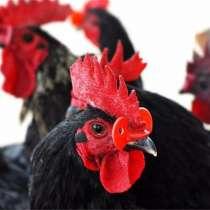 Очки для птиц шоры курица, фазан, перепел, куропатка, петух, в Астрахани