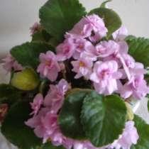 Фиалка розовая полумахровая, розетка, в г.Москва