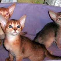 Котики и кошечки абиссинской породы, в Москве