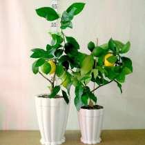 Лимон с плодами, в Челябинске