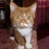 Британский котенок редкого окраса, в г.Краснодар