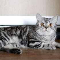 Мраморный котик, в г.Москва