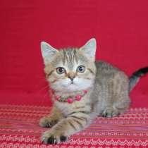 Британский котенок, в Санкт-Петербурге