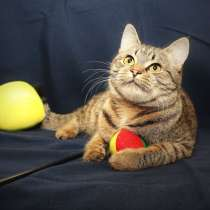 Милая кошечка Фиби, кругленькие щечки. В добрые руки, в Калуге