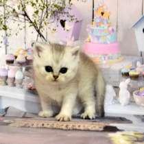 Котик серебряная шиншилла, в г.Москва