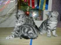 Британские шикарные котята, в Ульяновске