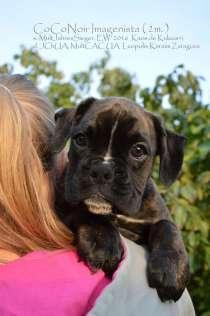Боксер щенок (девочка), в г.Киев
