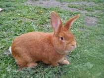 Продам на племя кроликов, нзк рекс, калифы и т. д, в Магнитогорске