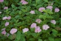 Спирея густоцветковая, в Екатеринбурге