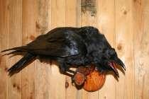 Продам чучело ворона 7тр, в г.Самара