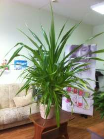 Продам растение для больших помещений, в Кемерове
