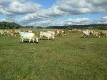Коровы симментальской породы, в Магнитогорске