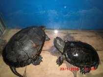 Болотные черепахи, в г.Добрянка