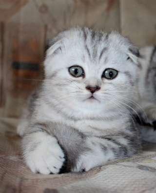Шотландские и британские котята