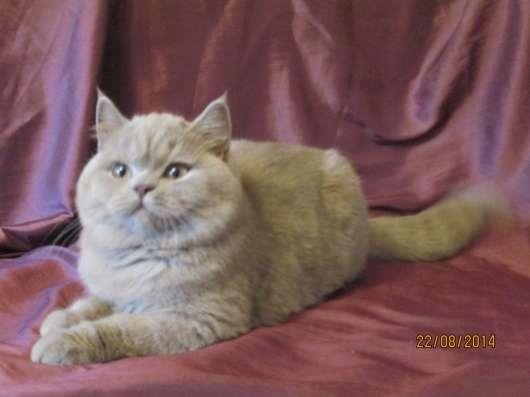 Британские котята в Екатеринбурге Фото 1